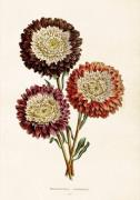 Plakat Chrysanthemum 35x50 cm