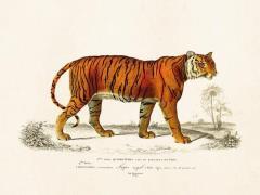 Plakat Tiger 24x18 cm