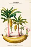 Plakat Banan 50x70 cm