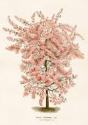 Plakat Rosa träd 70x100 cm